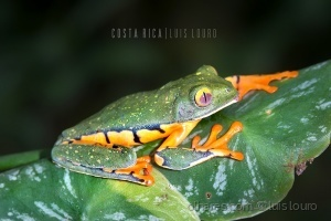 Macro/Splendid tree frog