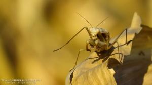 Macro/Louva-a-deus (Mantis religiosa) Fêmea