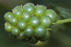 /mas não são uvas....