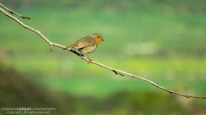 Animais/Pisco-de-peito-ruivo (Erithacus rubecula)