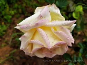 Macro/Lágrimas de rosa (ler sff)