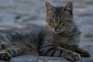 /Gato de Rua