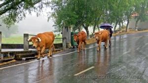 Animais/Já passou o tempo das vacas gordas