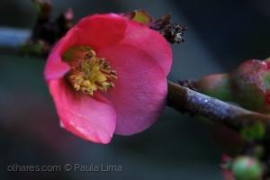Macro/«flor de marmeleiro»