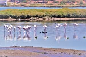 /Flamingo - Phoenicopterus roseus