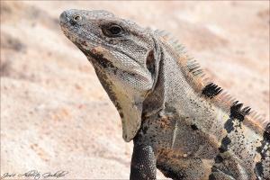/Iguana