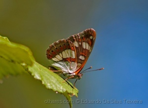 /Limenitis reducta