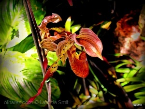 Macro/Exotic lady-slipper