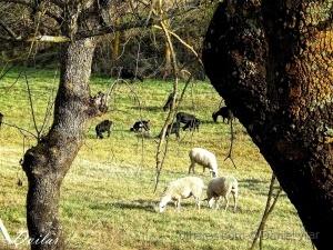 Paisagem Natural/Gado caprino e ovino.