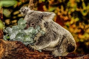 /Koala