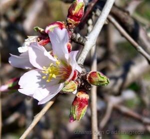 /flor de amêndoa