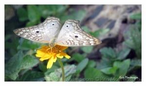 /Mais uma borboleta