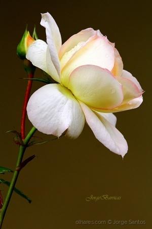 /Uma rosa e um beijo eu te tenho para,!!!!!!!!!!!!