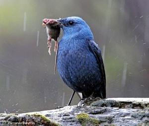 /Melro-azul - (Monticola solitarius).