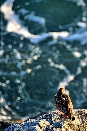 /Andorinha do mar