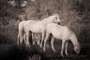 /White horses