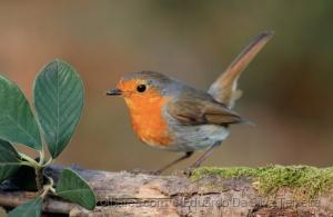 /European Robin