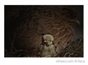 /Mãe galinha