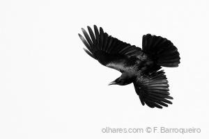 /Black (Corvus corone)