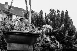 /Flores de Mirandela