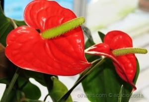 /Antúrios (Anthurium andraeanum)
