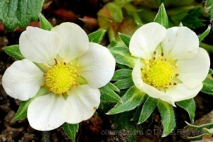 /Flor de morangueiro