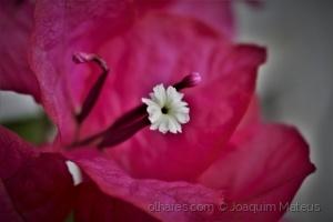 /Buganvília em flor