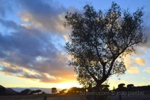 Paisagem Natural/Oliveira ao Pôr de Sol