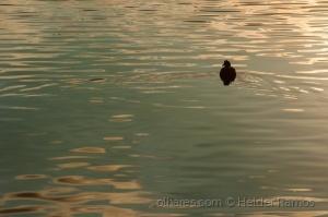 /The bird of golden waters.