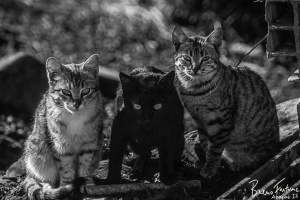 Animais/Top Cat Gang