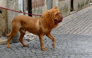 /O cão que parece um leão