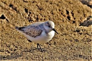 /Pilrito-das-praias Calidris alba