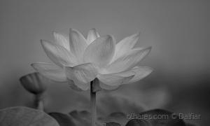 /Flor de Lótus
