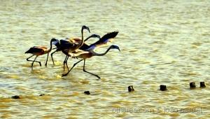 Paisagem Natural/Flamingos no Sado