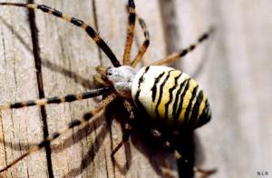 /aranha vespa