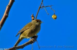 Animais/Toutinegra-de-barrete-preto fêmea (Sylvia atricapi