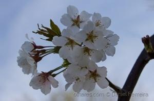 Macro/Flor de macieira