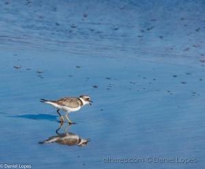/Maçarico-branco (Calidris alba)
