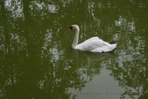 Animais/Cisne Branco