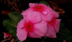 /flores , depois da chuva ....
