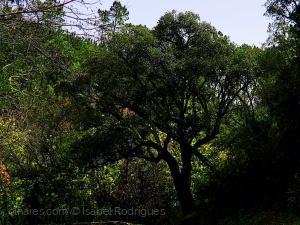 /Olha estas velhas árvores... (c/desc)