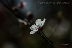 Outros/amendoeira em flor