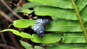 /Mais uma borboleta azul