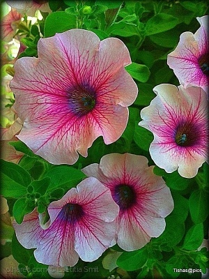 /Pink and white - Petunias