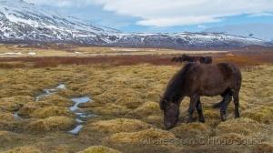 /Icelandic Horses