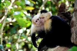 Animais/Capuchinho