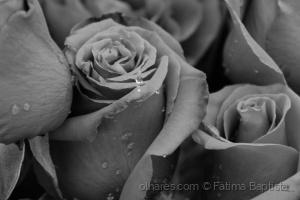 Macro/Negras são as rosas....