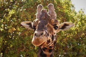 /Girafa