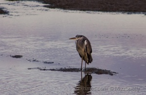 /Grumpy Heron