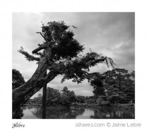 /Árvore anciã